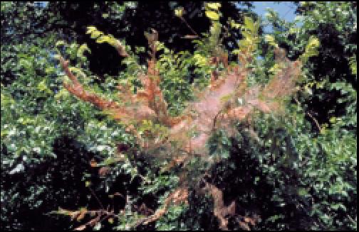 Webworms Pecan Tree Web Worms In Trees Webworms In