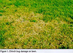 Chinch Bugs In St. Augustine Lawns Austin