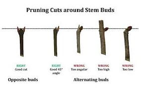 How To Prune A Tree Or Shrub