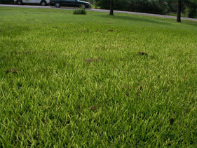 Yellow St. Augustine Grass Austin