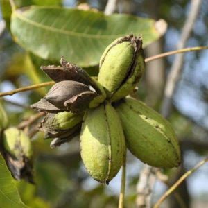 Pecan, Fruit And Nut Spray Schedule Austin TX